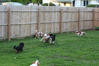 Cavalier King Charles Puppies for Sale in Iowa