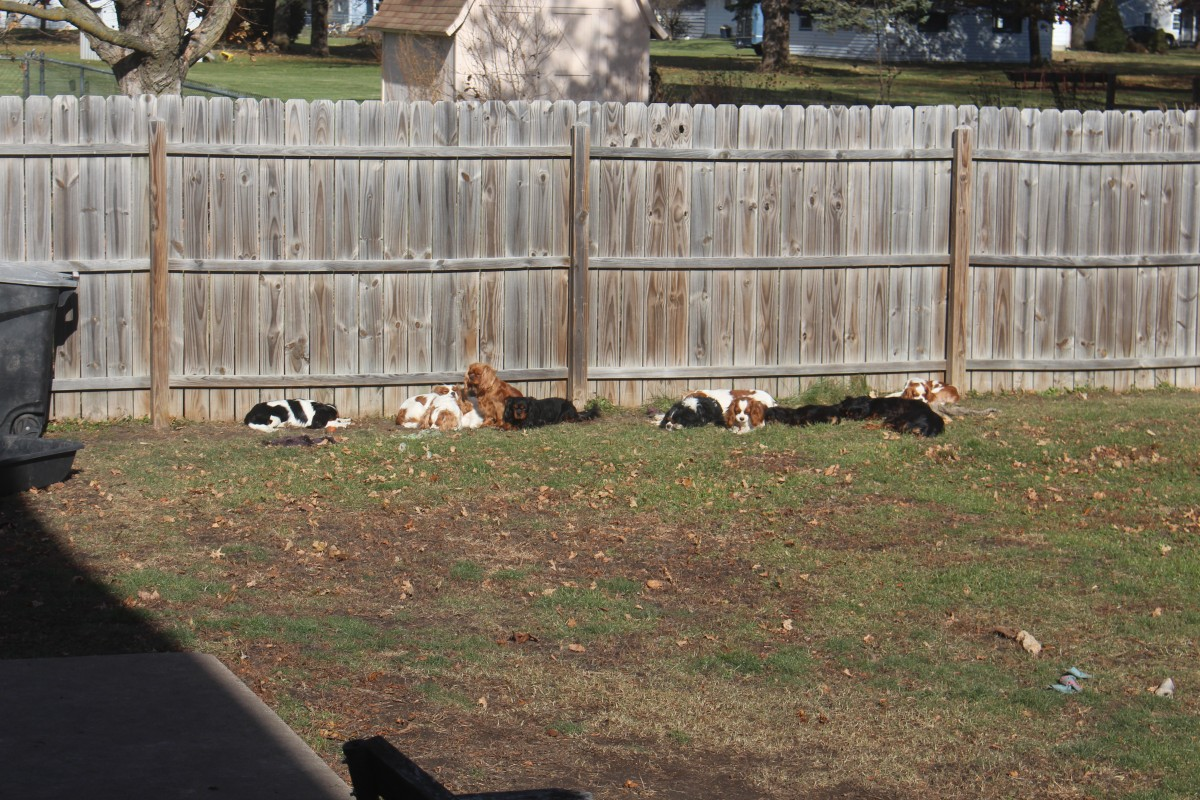 Twelve Cavalier King Charles Spaniel Puppies Playing outside