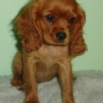 Adopt Cavalier King Charles Spaniels in Iowa