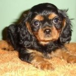 Black and Tan Cavalier King Charles Spaniel Puppy laying on Floor