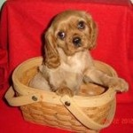 Cavalier King Charles Spaniel Breeders in Iowa