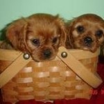 Two Cavalier King Charles Spaniel Puppies in Basket