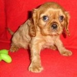 Brown Cavalier King Charles Spaniel puppy
