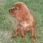 Brown Cavalier King Charles Spaniel puppy sitting in the grass